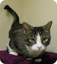 Domestic Shorthair Cat for adoption in Gary, Indiana - Terry
