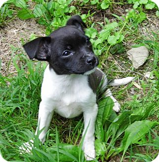 Terrier (Unknown Type, Small) Mix Puppy for adoption in Bel Air, Maryland - Sugar