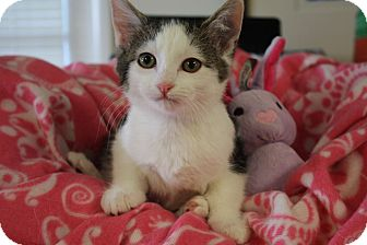 Domestic Shorthair Kitten for adoption in Nashville, Tennessee - Saris