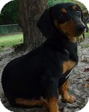 Dachshund Dog for adoption in Jesup, Georgia - Dexter