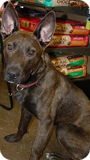 Dutch Shepherd/German Shepherd Dog Mix Dog for adoption in Rochester/Buffalo, New York - Zander