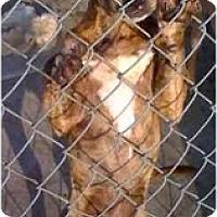 Adopt A Pet :: Coco Puff - Fowler, CA
