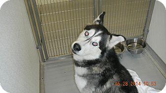 Siberian Husky Mix Dog for adoption in Sandusky, Ohio - ROCKY