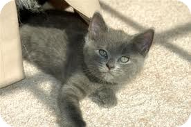 Domestic Shorthair Kitten for adoption in Lancaster, Massachusetts - Max