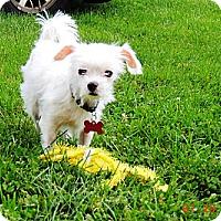 Adopt A Pet :: Peanut - Mount Kisco, NY