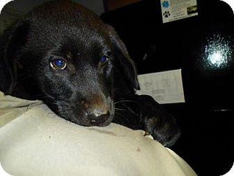 Labrador Retriever/Retriever (Unknown Type) Mix Puppy for adoption in Lincolnton, North Carolina - Shaggy