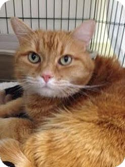 Domestic Shorthair Cat for adoption in Divide, Colorado - Summer