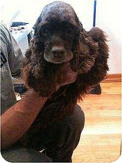 Cocker Spaniel Dog for adoption in Flushing, New York - Hazel Nut