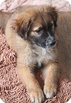 Shepherd (Unknown Type)/Spaniel (Unknown Type) Mix Puppy for adoption in Bedford Hills, New York - Austin