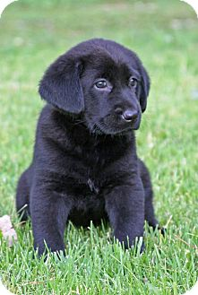 Labrador Retriever/Flat-Coated Retriever Mix Puppy for adoption in Moosup, Connecticut - MURPHY