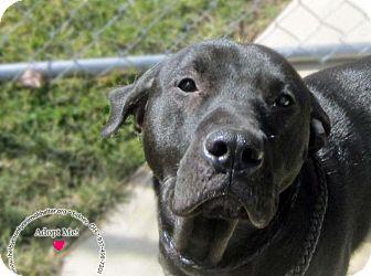 Labrador Retriever Mix Dog for adoption in Sidney, Ohio - Kacie