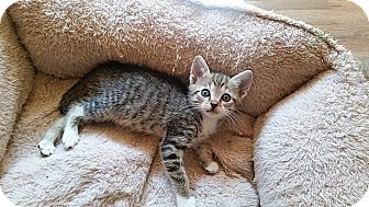 Domestic Shorthair Kitten for adoption in Tampa, Florida - Gabby