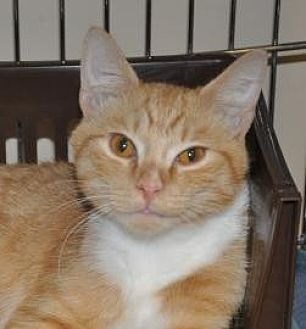 Domestic Shorthair/Domestic Shorthair Mix Cat for adoption in Pompano Beach, Florida - Simba
