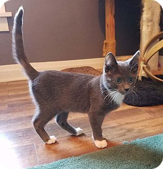 Domestic Shorthair Kitten for adoption in Lombard, Illinois - La Salle