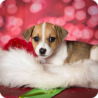 Beagle Mix Puppy for adoption in Plano, Texas - Libby