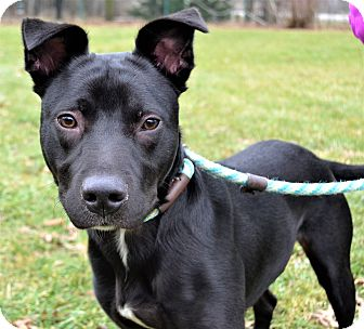 Labrador Retriever/American Pit Bull Terrier Mix Dog for adoption in Michigan City, Indiana - Baxter