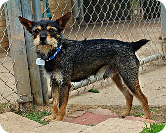 Yorkie, Yorkshire Terrier/Mixed Breed (Small) Mix Dog for adoption in Shreveport, Louisiana - Morrison