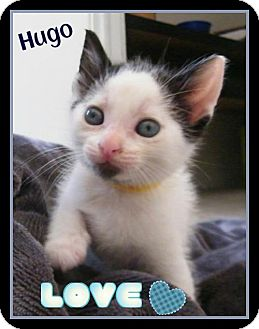 Domestic Shorthair Kitten for adoption in Orlando, Florida - Hugo