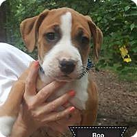 Adopt A Pet :: Boo - Concord, NH