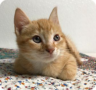 Domestic Shorthair Kitten for adoption in Hendersonville, North Carolina - Stevia