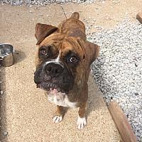 Adopt A Pet :: Jeremiah - St. Louis, MO