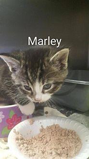 Domestic Shorthair Kitten for adoption in Evansville, Indiana - Marley