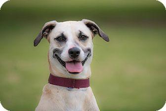 Labrador Retriever Mix Dog for adoption in Santa Monica, California - SHAKIRA
