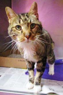 Domestic Mediumhair/Domestic Shorthair Mix Cat for adoption in Valley Falls, Kansas - Jim
