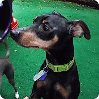 Adopt A Pet :: Romeo - Pelzer, SC