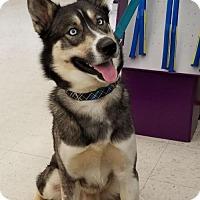 Siberian Husky/German Shepherd Dog Mix Dog for adoption in Seaford, Delaware - Ruger