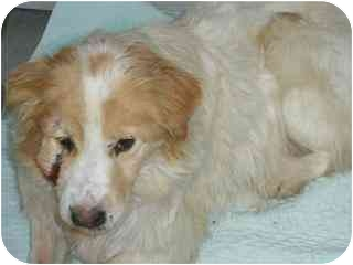 Labrador Retriever/Collie Mix Dog for adoption in Spruce Grove, Alberta - Spotty