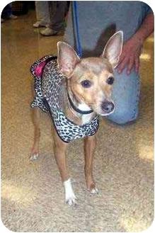 Italian Greyhound Mix Dog for adoption in Overland Park, Kansas - Delilah