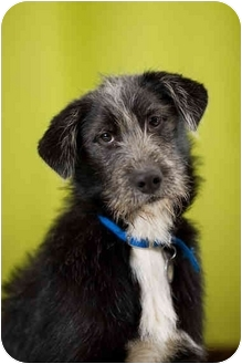German Wirehaired Pointer Mix Dog for adoption in Portland, Oregon - Annabelle