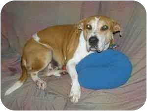 American Pit Bull Terrier/Boxer Mix Dog for adoption in Loiza, Puerto Rico - Diana
