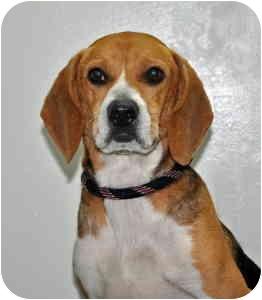 Beagle Dog for adoption in Port Washington, New York - Buddy