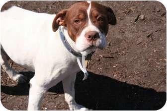 American Bulldog/Boxer Mix Dog for adoption in Islip, New York - Heidi