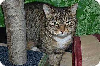 Domestic Shorthair Cat for adoption in Elyria, Ohio - Grey