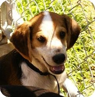 Beagle/Terrier (Unknown Type, Medium) Mix Dog for adoption in Oakland, Arkansas - Larry