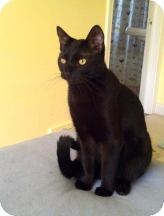 Domestic Shorthair Cat for adoption in Warren, Michigan - Cheddar