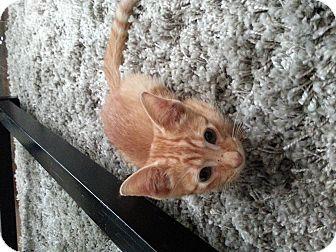 American Shorthair Kitten for adoption in Eddy, Texas - Kitten - Courtesy Post