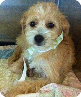 Yorkie, Yorkshire Terrier/Poodle (Miniature) Mix Dog for adoption in Oswego, Illinois - Skye