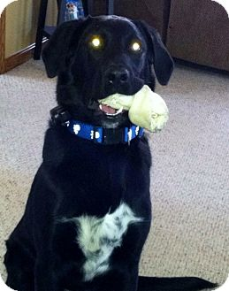 Labrador Retriever/Border Collie Mix Puppy for adoption in Massillon, Ohio - NORMAN