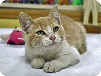 Domestic Shorthair Cat for adoption in Searcy, Arkansas - Mark