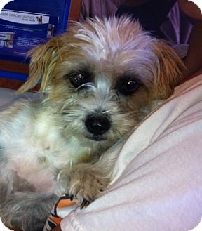 Shih Tzu Mix Dog for adoption in Nuevo, California - Misty