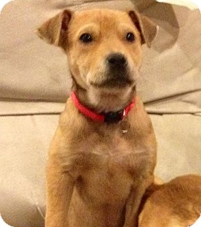 Boxer/Labrador Retriever Mix Puppy for adoption in Franklinville, New Jersey - Kayla