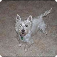 Adopt A Pet :: Silky - Chandler, IN