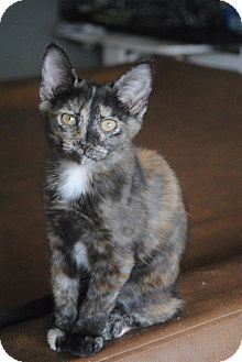 Domestic Shorthair Kitten for adoption in Weatherford, Texas - Cocoa