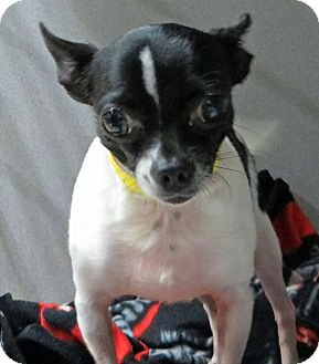 Chihuahua Dog for adoption in Middletown, New York - Apache