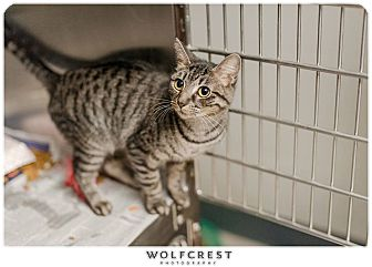 Domestic Shorthair Cat for adoption in Fredericksburg, Virginia - Minnie/MAC