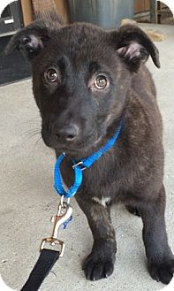 Labrador Retriever Mix Puppy for adoption in Pompton Lakes, New Jersey - Paul
